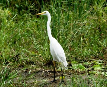 Yellowbilled_Egret13140.JPG